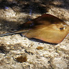 Atlantic Stingray
