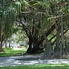 Banyan Trees ~ Pembrook Pines, FL