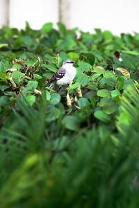 Florida State Bird
