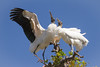Wood Storks in Mating Dance