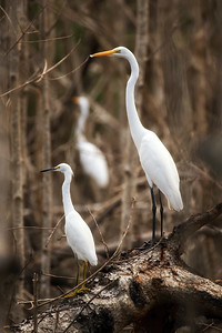 Egrets Great and Small, Everglades NP