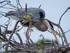 herons mating dance (1 of 29)