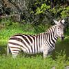 Zazzy Zebra
