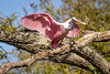 Roseate Spoonbill Wings Outspread
