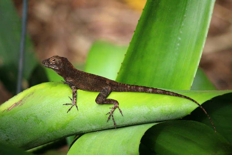 Brown Anole / Female