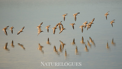Dunlin Flight