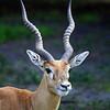 Impala / Male