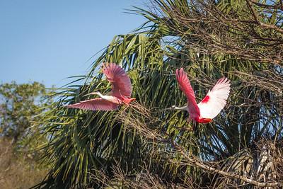 Roseate Spoonbill Pair in Flight