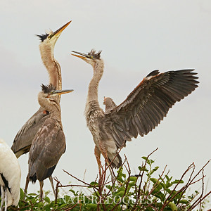 Great Blue Heron Family
