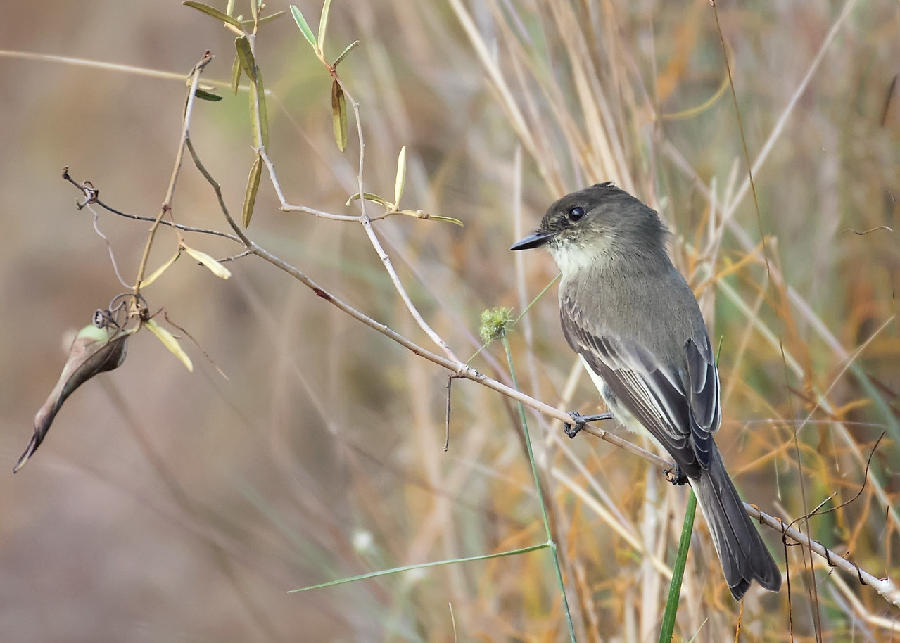 Gray Kingbird, Everglades NP