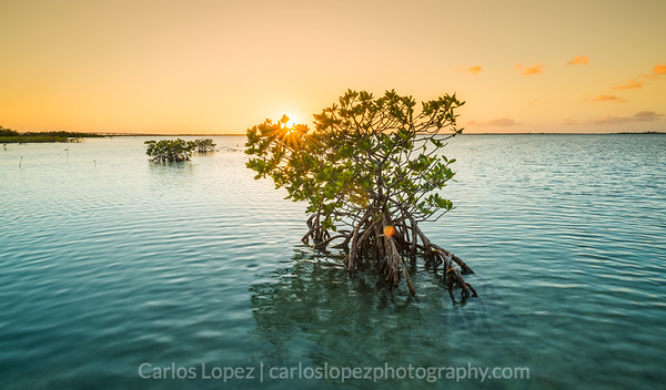 Mangrove Flare