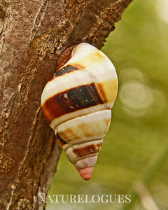 Liguus Tree Snail, Brown