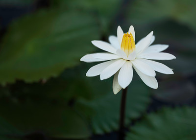Night Blooming Water Lily