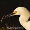 Snowy Egret with Food