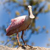 Roseate Spoonbill Frontal