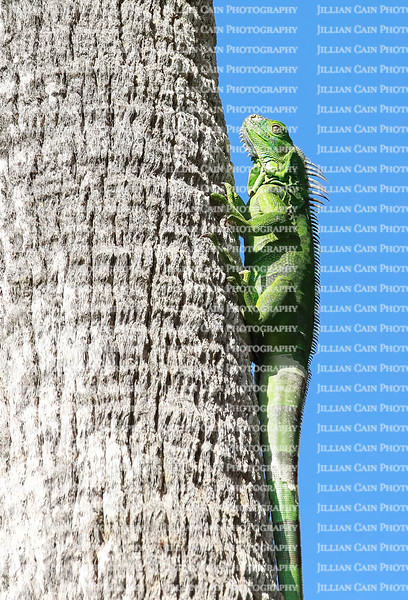 Cold blooded green iguana warms itself by clinging to a large palm tree in full sun.  Green iguanas are an invasive species in Florida, United States.