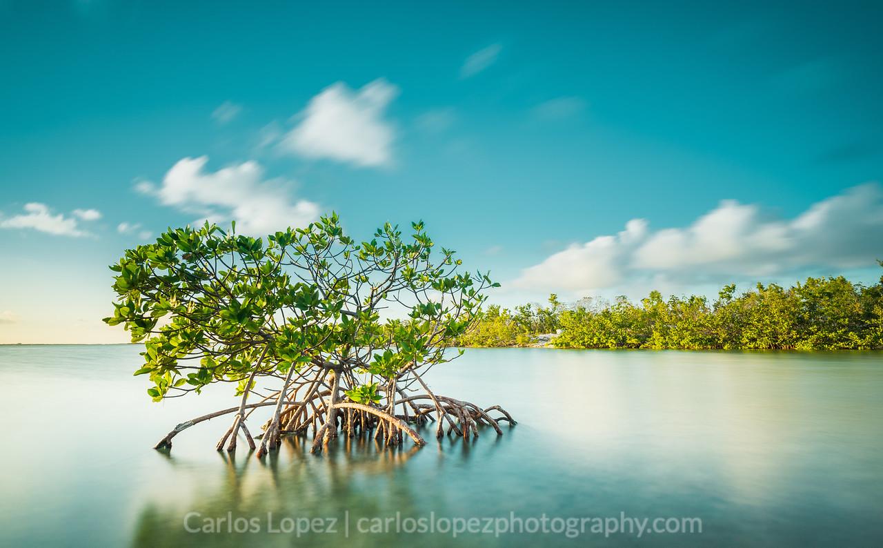 Mangrove in Blue