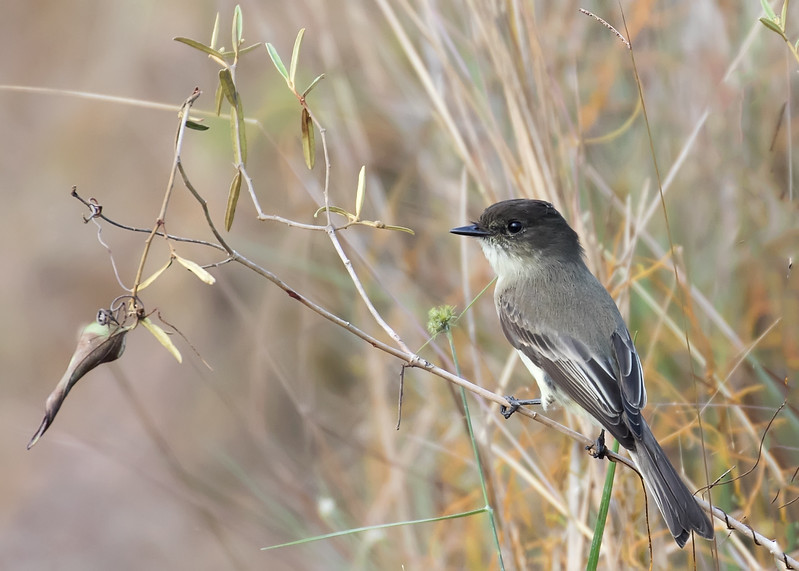 Gray Kingbird, Everglades NP