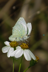 Great Southern White Butterfly, with diagnostic blue-green antennal clubs.