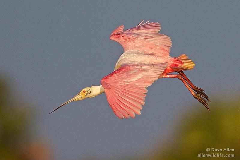 Mature Roseate Spoonbill in flight