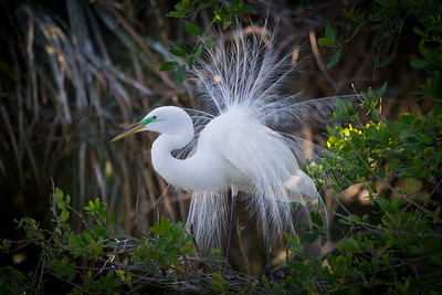 Great Egret Showing Off Mating Plumage