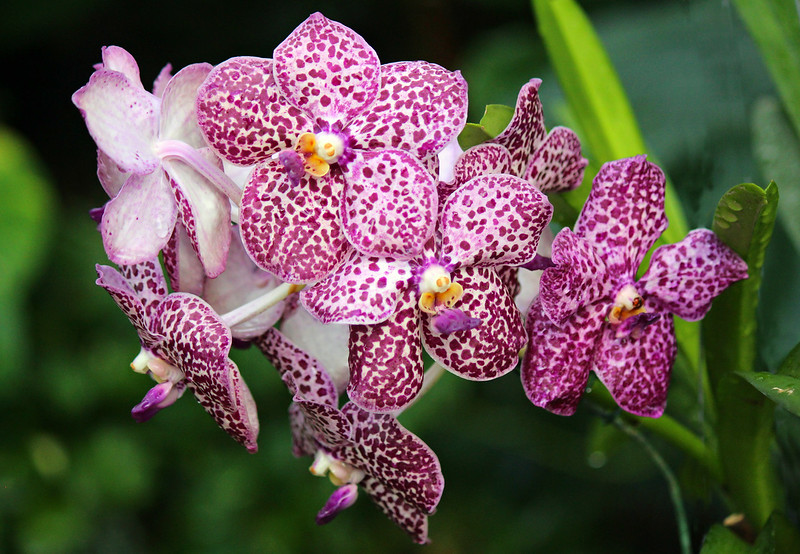 Purple Spotted Phalaenopsis