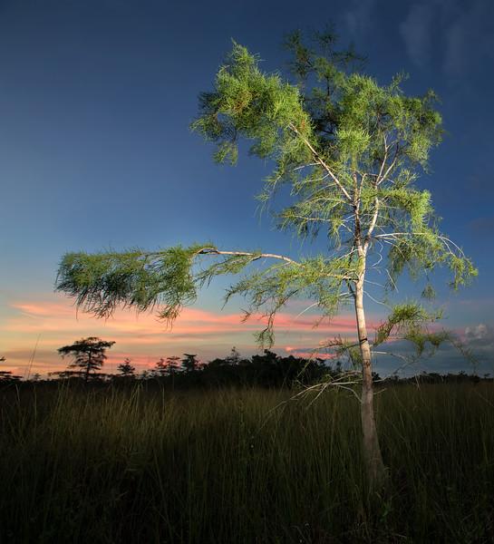 Cypress,  Everglades NP