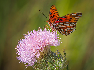 Gulf Fritillary Butterfly on Thistle flower