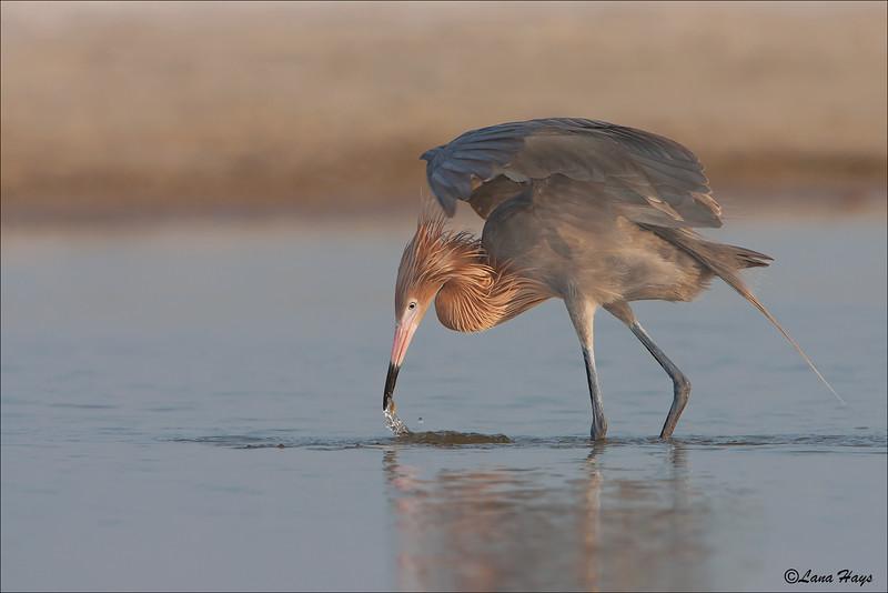 Reddish Egret  (Dark Morph)