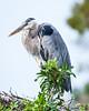 herons mating dance (3 of 29)