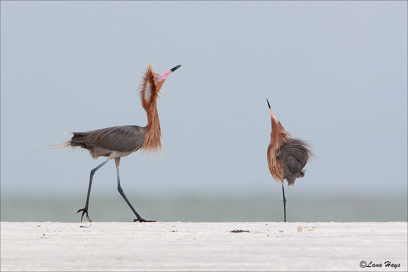 Reddish Egrets  (Dark Morph)
