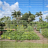 Organic community garden located in downtown Boca Raton.  The garden is one and a half acre large and consists of fruits, vegetables, flowers, plants and trees