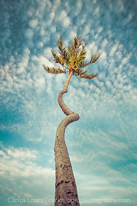 Cork-screw Palm 2