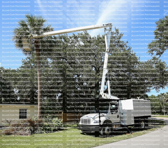 Bucket truck and arborist works at thinning out a cabbage palm tree fronds prior to hurricane season in Florida.