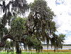 Massive Lakeside Live Oak