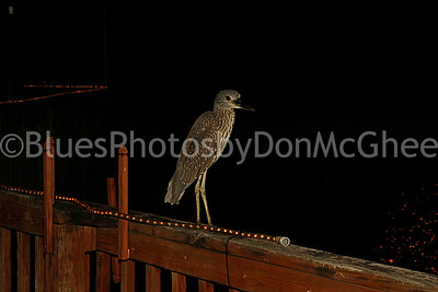 Bird (not a Pelican) on railing