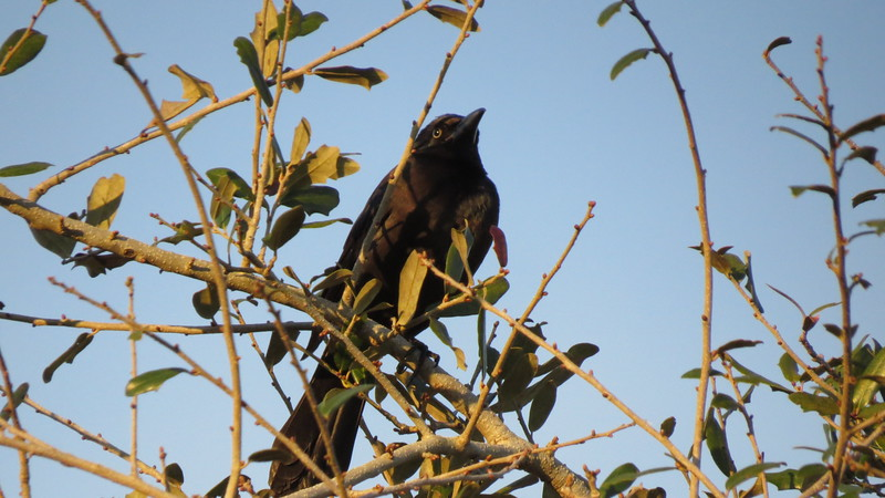 15) 3061 BOAT-TAILED GRACKLE