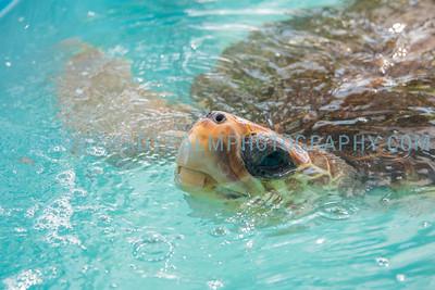 Turtle-1017