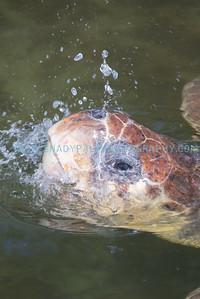Turtle-1036