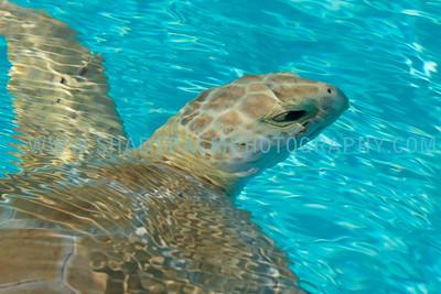 Turtle-0993