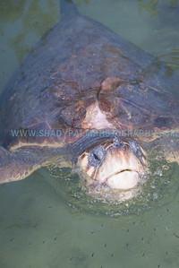 Turtle-1043