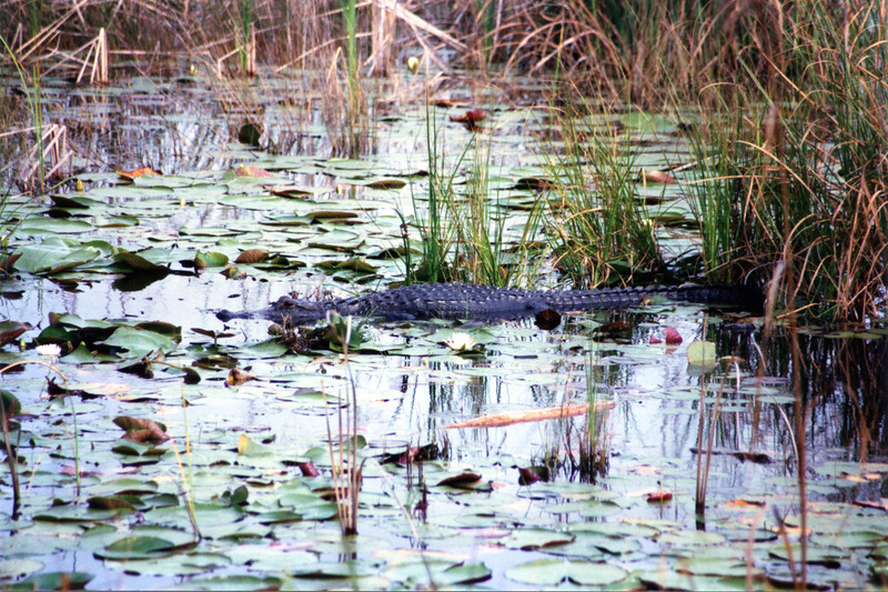 ** A local gator waiting for a meal at the Wildlife Refuge **<br /> A new mason, Calvin Knowlton, was brought in to rebuild the tower according to the contract specifications.  The second tower was completed and accepted by the government in 1831.
