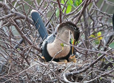 Anhinga Nestlings 2012