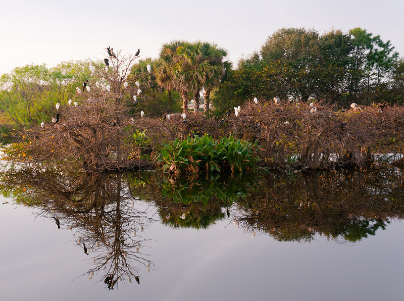 The rookery at Wakodahatchee in Palm Beach, Florida.  The Great Blue Heron nest featured in this series on the second on from the right.