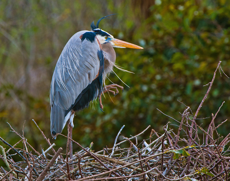 Meet Dad.  Here the male heron is discouraging other birds from approaching his mate's nest.