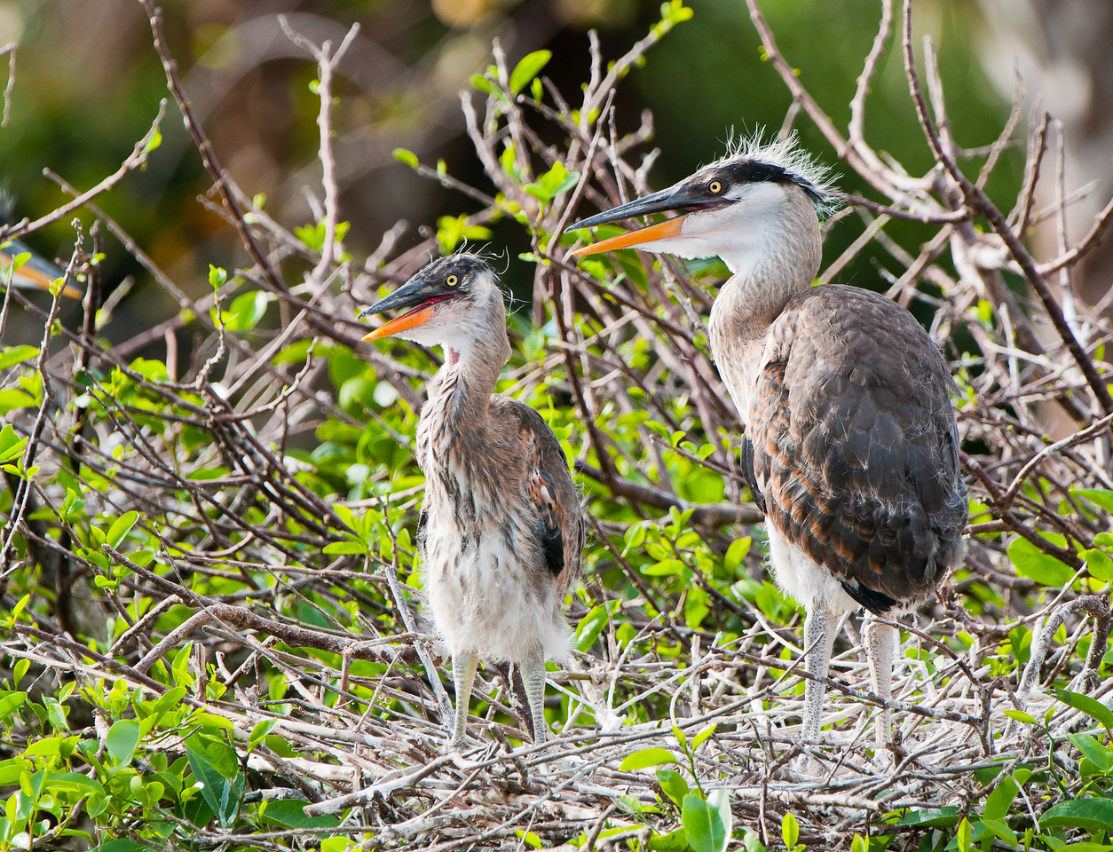 Great Blue Heron Twins, shown here standing at age 7 weeks.  They have been alone for nearly 4 hours and are getting restless. Mom still had not returned when it started to pour rain and I left.