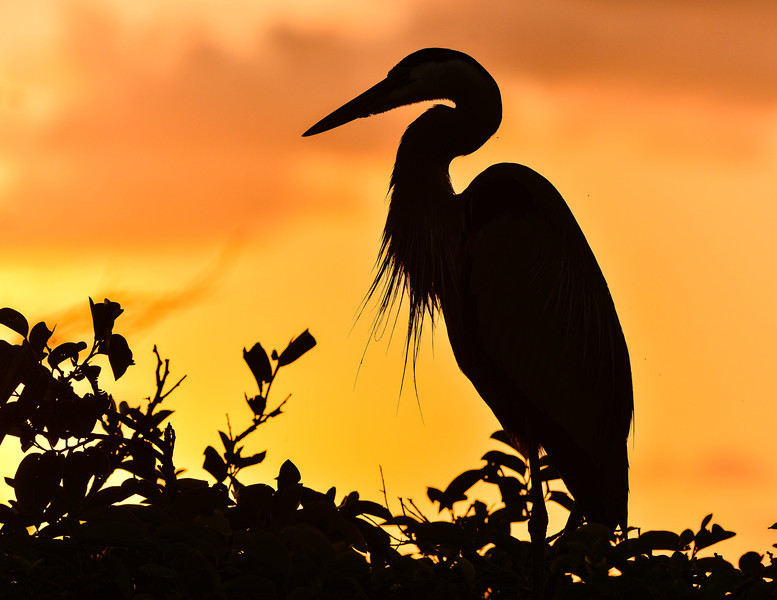 Great Blue Heron stands guard over the rookery at daybreak.