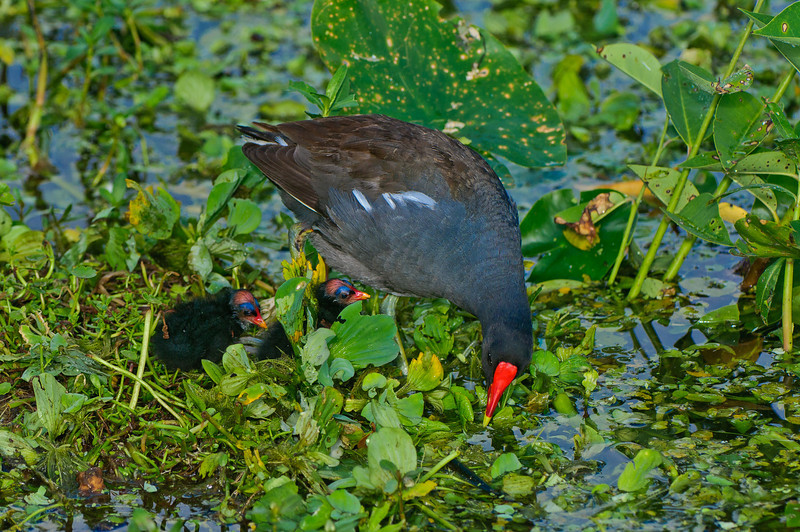 This Moorhen mother hatched four chicks, two of which were promptly eaten by a GBH.  She has become a fierce protector of her remaining two chicks who are shown in this series.