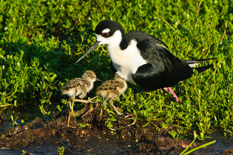 Stilt chicks seek dad's protection while they are three days old.