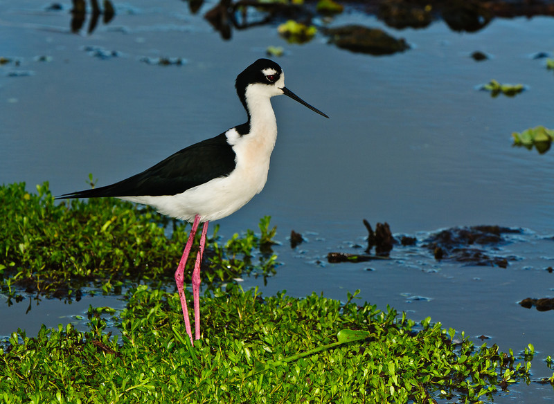 Male Black Necked Stilt in the marshland.